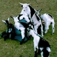st. valentines day goats   Attacked by Goats   1Funny.com