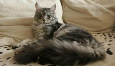 Maine Coon Long Tail