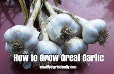How to Grow Great Garlic  #organicgarden #gardening