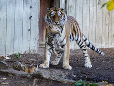 Tiger cubs 2   by ChristianHass
