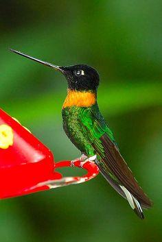 Gould's Inca Hummingbird