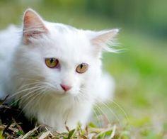 導讀:咳嗽確實是貓氣喘病容易表現的症狀,但是貓咪咳嗽卻不一定是氣喘,貓哮喘的定義很難確定,通常稱作慢性支氣管炎、支氣管哮喘或過敏性支氣管炎等,大多是過敏導致的,屬於過敏性反應型。常見貓咪陣發性乾咳伴有喘鳴。