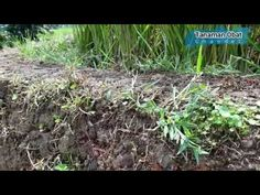 Antanan atau Pegagan Herbs, Plants, Herb, Plant, Planets, Medicinal Plants