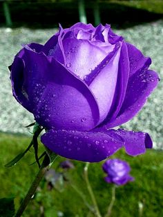 Beautiful Roses, Most Beautiful, Hybrid Tea Roses, Purple Roses, House Plants, Spring, Flowers, Touch, Beauty