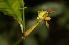 Taipei Green Tree Frog~!!!