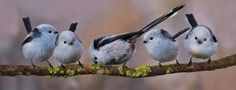 Long-tailed tits in Erding, Germany