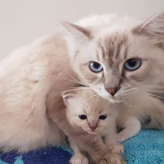 É meu! Pink mamãe ciumenta  (11)997567175 Whatsapp  #gatilragfoforagdolls #ragdoll  #cats  #cats_of_instagram #cats_of_instworld  #catsloversworld #bestmeow #cats_of_day #kittensofinstagram #bestcats_oftheworld  #kittens_of_world #cutecatskittens #igcutest_animals #picneko #kittens #meow #catsoninstagram #kitty #catslover #ilovemycat #cutecat #catsofig  #fofo  #bebe #miau