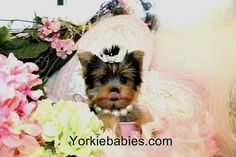 Teacup Yorkies for Sale | Tea Cup | Breeder | Puppies |Micro | Tiny