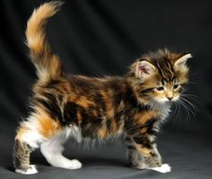 Love the colors on this little kitty! Most beautiful calico I have EVER seen!