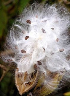 As kids we would find these everywhere and play with them and send them floating through the air.  Its rare to find them now, but many memories of laughing and running with milkweeds.  Dandylions too :)