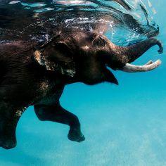 Rajan the last of the swimming elephants at Andaman islands, India. Photo: Daniel Botelho