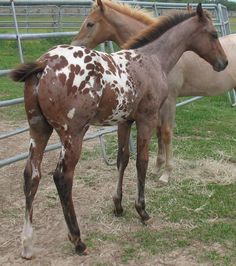 Figure Four Smuggler as a youngster... barn name Stormy, 2008 Bay Roan w/Blanket Appaloosa Colt
