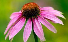 Echinacea purpurea – Coneflower