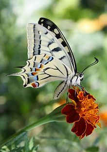 Papilio machaon. Old World swallowtail