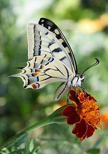 Papilio machaon. Old World swallowtail