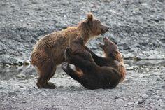 They must be siblings. Photo by: Amanda Benton #kodiak #alaska #bears