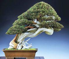 Venerable old bonsai tree with impressive shari
