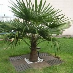 Graines Trachycarpus fortunei (Palmier chanvre) Plus Landscaping Around Trees, Landscaping On A Hill, Modern Landscaping, Outdoor Landscaping, Backyard Landscaping, Outdoor Gardens, Patio Edging, Garden Edging, Terrace Garden