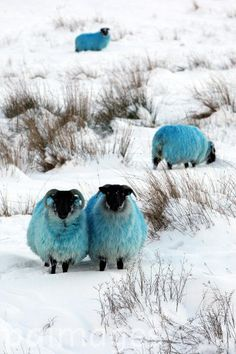 Dyed blue sheep in the hills of Co Antrim as the cold spell continues.