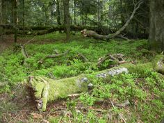 les mousses drapent les vieux bois couchés tandis que les buissons de myrtilles s'habillent pour les jolies baies qu'ils donneront dans quelques mois
