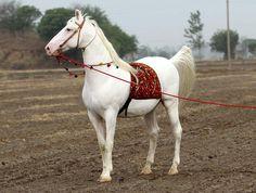 Swraj - Marwari Stallion Of Baba Ajit Singh (by Horses Of India) Marwari Horses, Friesian Horse, Arabian Horses, Andalusian Horse, Kathiyawadi Horse, Horse Love, Draft Horses, Rare Horse Breeds, Indian Horses