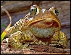 American toad x Fowler's Toad hybrid  (Anaxyrus americanus x Anaxyrus fowleri), spotted by Lisa Powers in Fairview, Tennessee