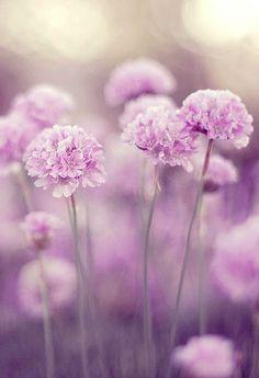 Sea Trift in Lavender Lilac