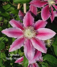 Clematis 'Nelly Moser' ; great little plant, have one in my garden. It is about 8 years old and gets better with time!