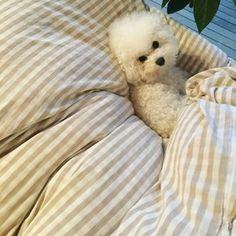 なんか なんか。。 オレアが巣作ってて可愛いので投稿 . #bichonfrise #ビションフリーゼ #dog #doggielove #dogstagram #ふわもこ部 #モフモフ犬 #いぬばか部 #cutedog #ボサ子