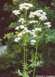 Valarian officinalis - Not only a valued medicinal herb but an important source of nectar attracting many beneficial insects to the garden as well as butterflies Butterfly Plants, Butterflies, Beneficial Insects, Medicinal Herbs, Garden, Beautiful, Ideas, Garten, Lawn And Garden