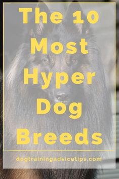 If you are planning to adopt a dog that will fit your lifestyle, make sure that you choose the right breed. Here is a list of the 10 most hyper dog breeds. #dogtips #dogs #dogfacts
