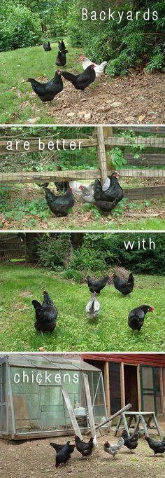 Chickens in the garden!