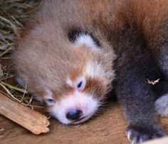 Sleepy Red Panda Baby a Welcomed Addition to #Auckland Zoo