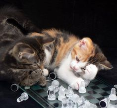 Checkmate! This Picture IS NOT PHOTOSHOPPED in any way...Bagpuss (calico) and garfield playing chess...we waited for hours for the right shot and the way that they both have thier paws, thinking on the next move is priceless...looks better bigger  cr photo: Debi Low via: justcat