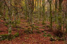 Las hayas encantadas El hayedo de Busmayor es un lugar mágico y que invita a un paseo cada fin de semana, especialmente en otoño, cuando sus hojas cambian de color