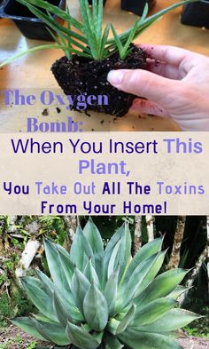 The Oxygen Bomb: When You Insert This Plant, You Take Out All The Toxins From Your Home! - World Healthy Life