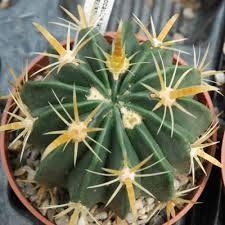 latispinus v.flavispinus
