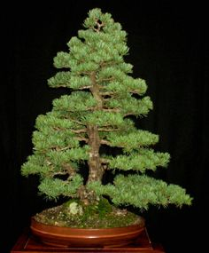 JPB:bonsai
