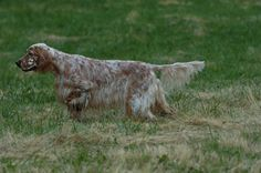 "Amateur Field Champion , Show Champion Set'r Ridge's Everlasting Master Hunter OFA Excellent ""Sahara"" Eukanuba Bred By Group winner, BOS National , BOS Westminster, Best In Specialty winner and an amazing Hunting Dog. Sahara is an all around English Setter and the best House dog ever and Hunting Partner. English Setter Hunting dog, English Setter Show Dog, English Setter Field Trial , English Setter Pet and friend www.englishsetter... photo by LEE"