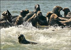 Cruise into Chatham Harbor and get up close and personal with thousands of Harbor and Grey seals for a Chatham seal tour like no other. (maybe even a Great White Shark) Cape Cod