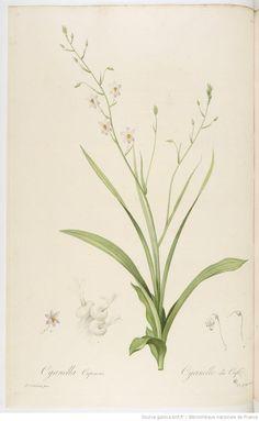 Cyanella Capensis, Les Liliacées, par P.-J. Redouté, Paris,1802-1816, Bibliothèque nationale de France