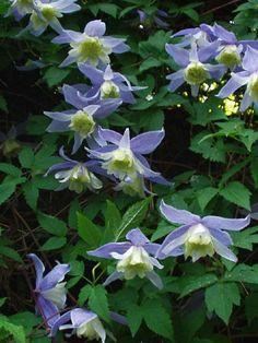 Clematis alpina Blue Princess - Friedrich M. Westphal Clematiskulturen