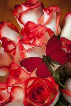 Vestim-nos de vermell...red white roses and red butterfly... Preciós...
