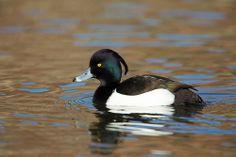 Tufted Duck (Aythya fuligula) by Steven Whitehead, via Flickr