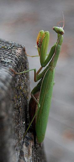 Mantis by Hap Murphy - John Murphy