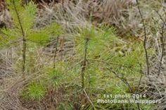 Photography: 150• Free photo • Pine • Nature