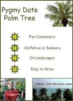 The pygmy date palm tree is perfect if you're looking for a beautiful fine feather leaf palm for indoors or patio containers. Porch Plants, Garden Plants, Indoor Plants, Tropical Landscaping, Tropical Plants, Container Plants, Container Gardening, Indoor Gardening, Outdoor Gardens