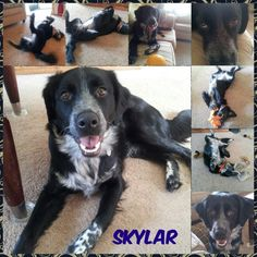 My dog Skyler. She is a Border Collie/Brittany Spaniel mix.