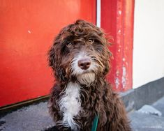 Rudi the Cockerpoo photographed by specialist dog photographer Emma O'Brien in Shoreditch, London.    #londondogs #cockerpoo #shoreditch #london #streetart #londongraffiti #londonphotography #londonphotoshoot #dogphotoshootideas