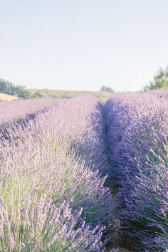 Lavender fields in Provence #lavender #provence #summertrip